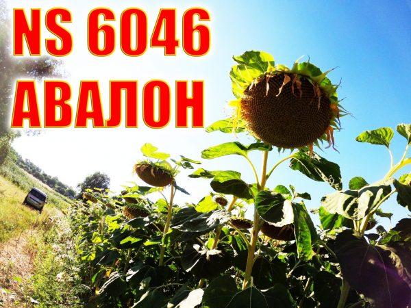 АВАЛОН подсолнечник NS 6046 | семена A - G+